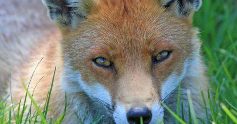 fox-220487_1280