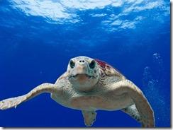 loggerhead-turtle-123402_640